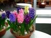 hyacinten-maart-2011-137