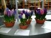 hyacinten-maart-2011-145