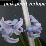 Pink Pearl Mutatie