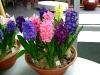 hyacinten-maart-2011-139