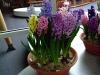 hyacinten-maart-2011-140