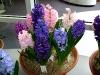 hyacinten-maart-2011-143
