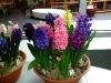 hyacinten-maart-2011-155