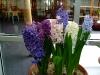 hyacinten-maart-2011-159