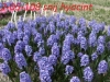 Herschaalde kopie van -2-05-108- snij hyacint