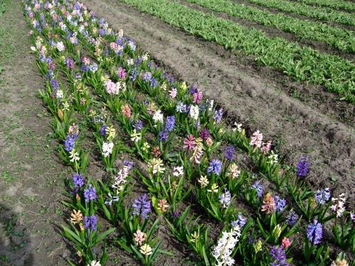 Herschaalde kopie van Hyacinten Buiten 2011 015